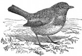 bird, English robin engraving