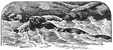 swimming beaver engraving