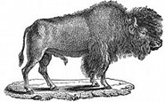 bison engraving