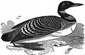 diving bird, loon engraving