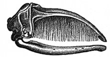 whale mouth and baleen engraving