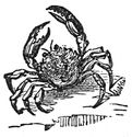 crab engraving