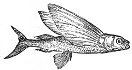 Flying Fish engraving