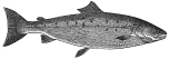 Salmon engraving
