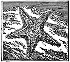 starfish engraving