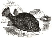 Trunkfish engraving