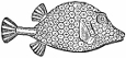 Trunk-fish engraving