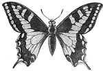 Butterfly of a Papilio Machaon engraving