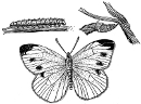 Cabbage butterly life cycle engraving