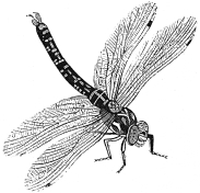 dragonfly engraving