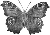 peacock butterfly engraving