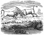 two bulls engraving