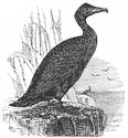 Common Cormorant engraving
