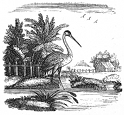 heron, bird engraving