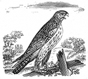 hawk engraving