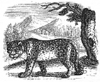 leopard engraving