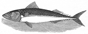 mackerel engraving