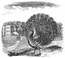 peacock engraving