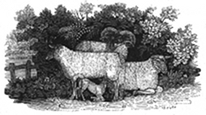 sheep engraving