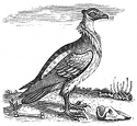 vulture engraving
