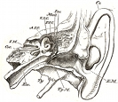 anatomy, ear engraving