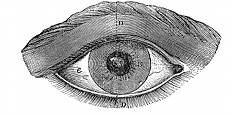 anatomy, eye engraving