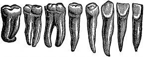 anatomy, teeth engraving